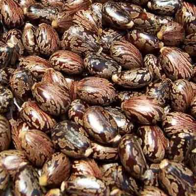 Castor Seeds Manufacturer in Rajkot Gujarat India by J k