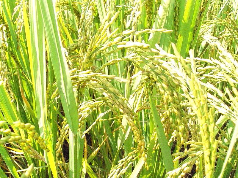 Rice Thresher