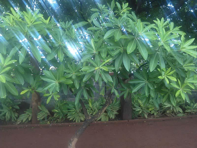 Saptaparni Plants