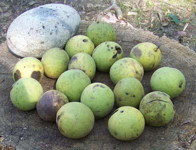 black walnuts (8564)
