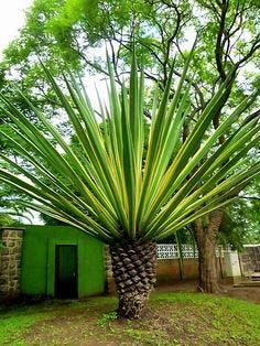 Evergreen Nursery Amp Farm Developer Palm Plants