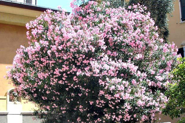 Nerium oleander shrub plants exporters in mayiladuthurai for Nerium oleander