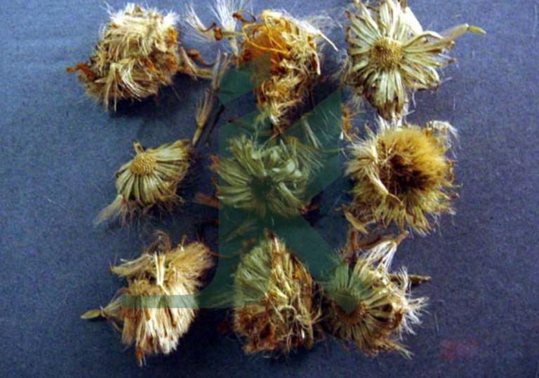 ARNICA MONTANA (Arnica Flower)