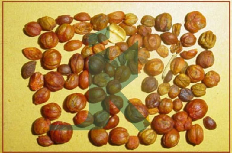 CELASTRUS PANICULATA (black oil seeds)