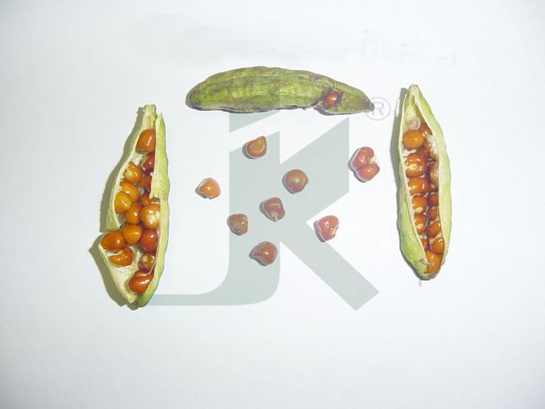 GLORIOSA SUPERBA (gloriosa seeds)