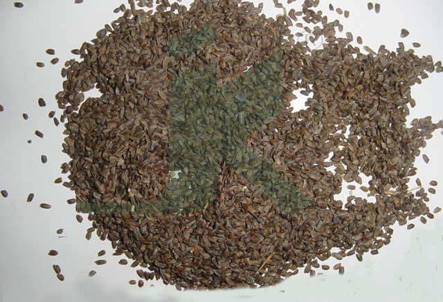 HYGROPHILA SPINOSA (hygrophila seeds)