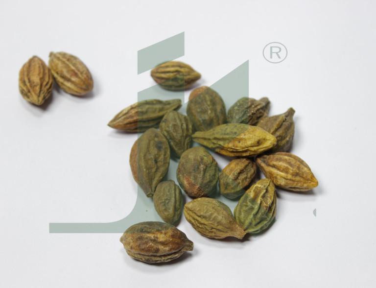 TERMINALIA CHEBULA (Chebulic Myrobalan)