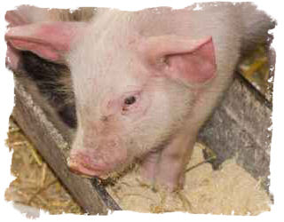 Premix Pig Feed Manufacturer in Canada by Veto-Conseils