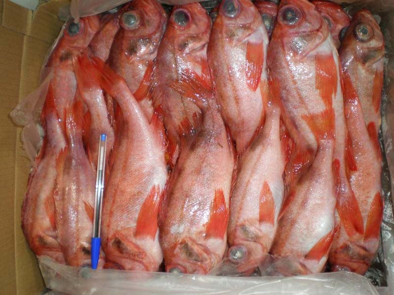Frozen red mullet fish manufacturer in istanbul turkey by for Red mullet fish