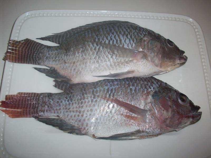 Frozen Tilapia Fish Fillets Buy Frozen Tilapia Fish For Best Price At Usd 500 1000 Ton Approx