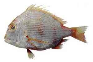 Frozen Sea Bream Fish
