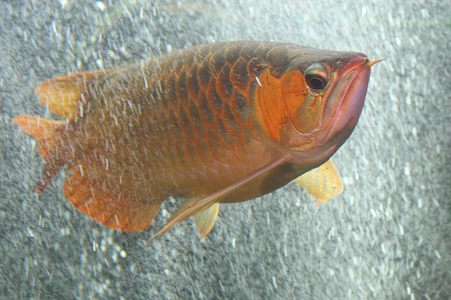 24 K Golden Cross back arowana fish