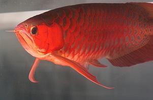 Arowana Fish for Sale.
