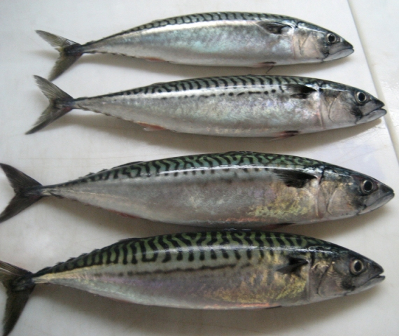 Good quality and freshness frozen seafood mackerel fish