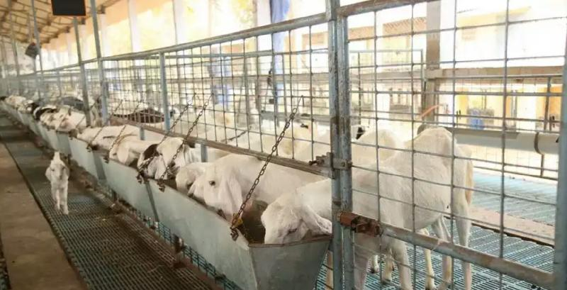 Live Goat Manufacturer in Chennai Tamil Nadu India by Srinidi