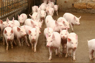 large white piglet manufacturer in moradabad uttar pradesh india by
