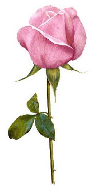 Fresh Pink Rose Manufacturer inVadodara - 19.8KB
