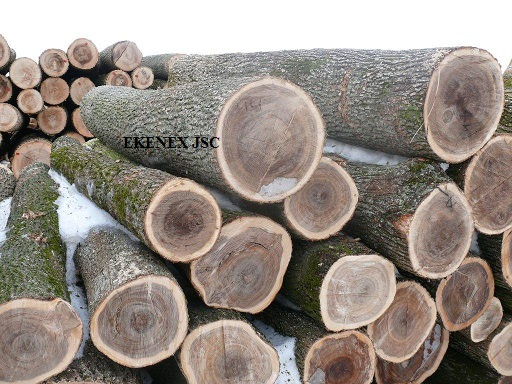 Elm Logs From Ukraine Ulmus Glabra Wholesale Suppliers In Araria
