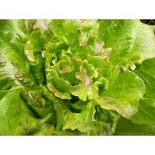 Fresh Summer Crisp Lettuce Manufacturer In Karnataka India