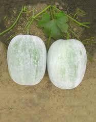 Ash Gourd (003)