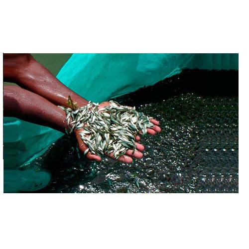 3 Inch Grass Carp Fish Seed