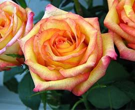 Confetti Rose Flowers