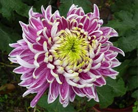 Double Colour Chrysanthemum Flowers