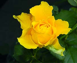 Gold Strike Rose Flowers