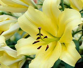 Yellow Oriental Lily Flowers