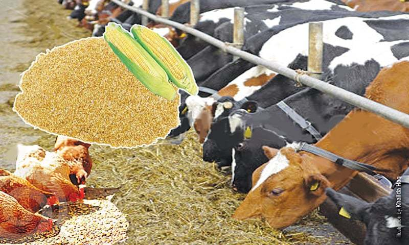 Dairy Maize Cattle Feed