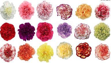 Carnation Flower Seeds