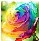 Rose Flower Seeds