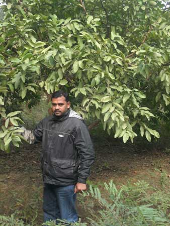 Guava L-49 Plant Manufacturer in Uttar Pradesh India by