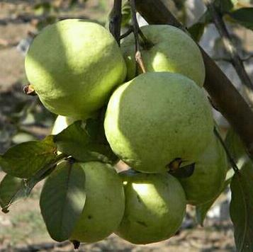 Thai 7 guava plants Manufacturer in West Bengal India by