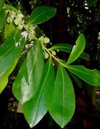 Warburgia Plant