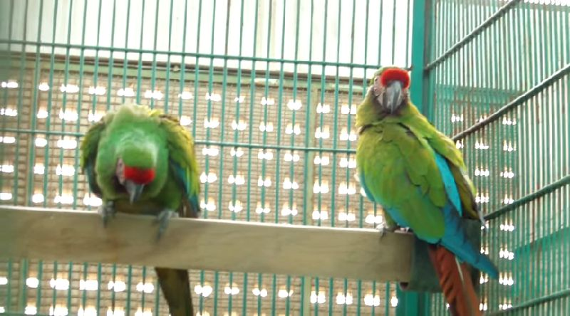 tamed exotic parrots available for sale