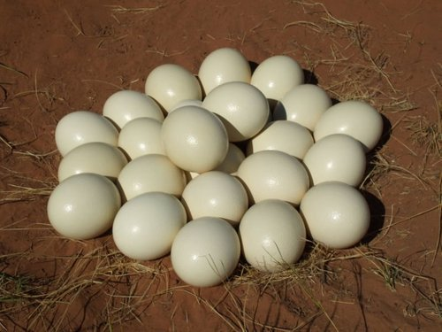fertile ostrich eggs