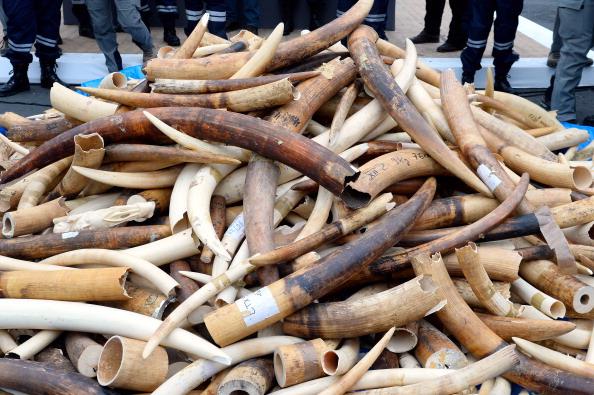 Elephant Ivory Tusk