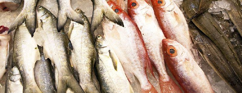 Fresh Mackerel,Sardine,Tuna,Salmon,Sea Bass Fish