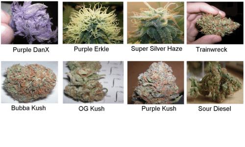 Purple Haze, Granddaddy Kush, Sour Diesel