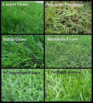 Buy Lawn Grass From Nanjil Nursery Nagercoil India Id