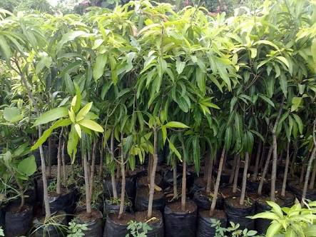 Buy Mango Plants From Nanjil Nursery Nagercoil India