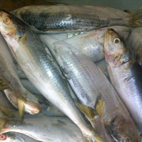 whole round frozen sardine fish