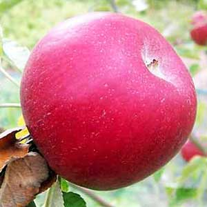 Maharaji Apples