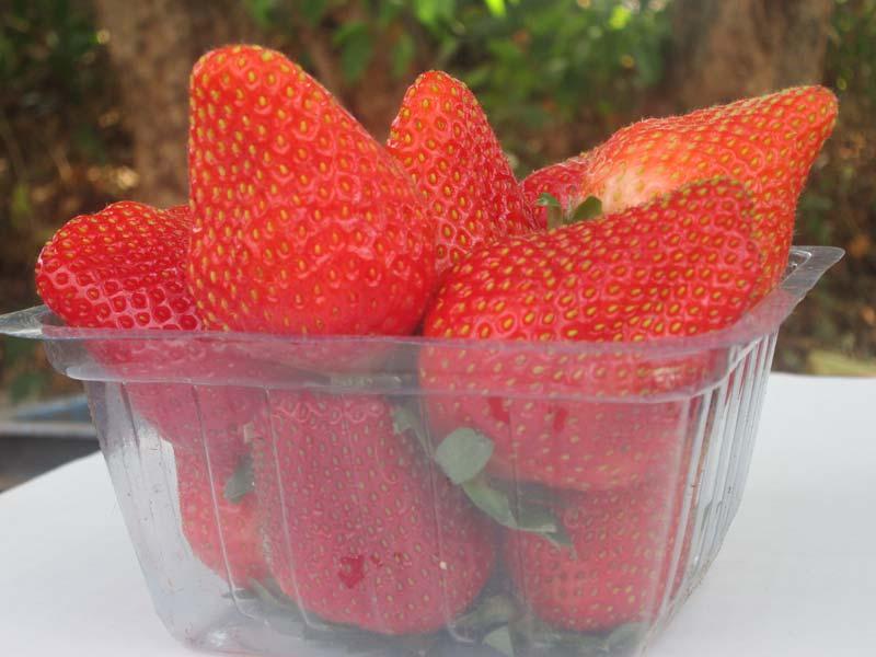 STRAWEBRRY FRESH  FRUITS EXPORT QUALITY (KAIPL-1)