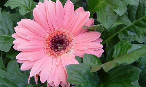 Gerbera Manufacturer In West Bengal India By The Indian Nursery Id 3673923