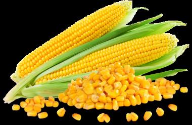 Sweet Corn Manufacturer Intraori Karnal Haryana India By