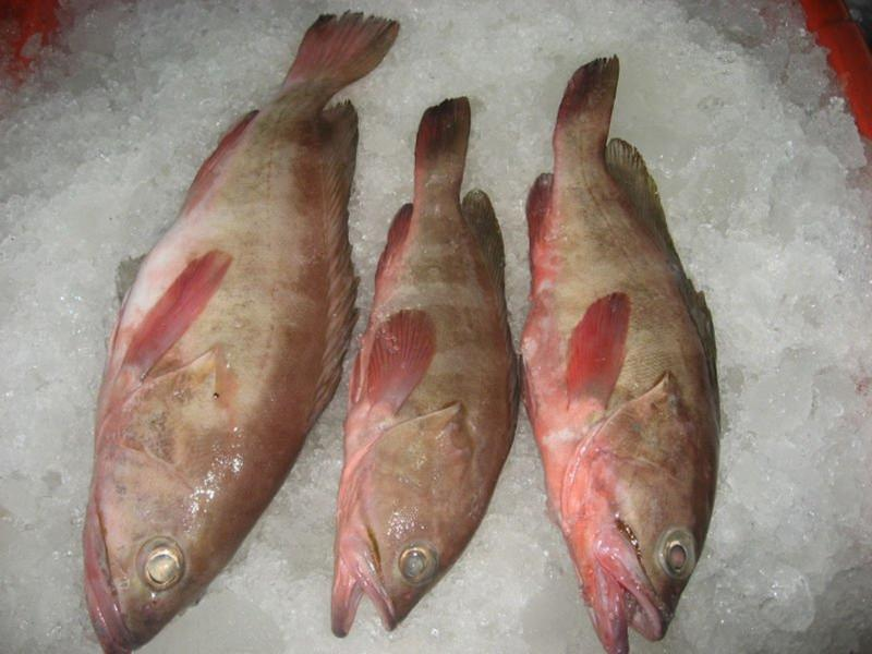 Frozen Reef Cod Fish Manufacturer & Exporters from Sarawak, Malaysia