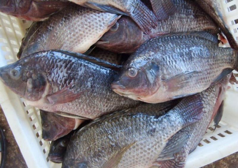 Frozen Tilapia Fish Manufacturer & Exporters from Sarawak, Malaysia