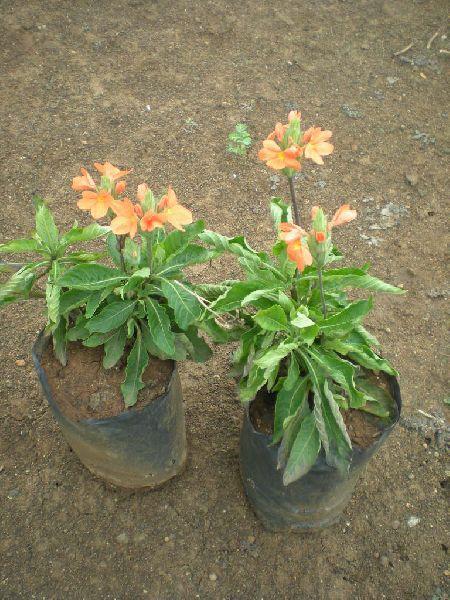 Crossandra Undulaefolia Plant